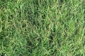 Princess 77 Turf from Lubbock Turf Co.